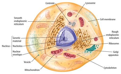 BBC  GCSE Bitesize Animal and plant cells