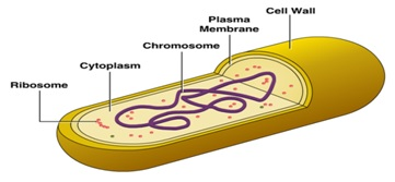 Bacterial Cytoplasm