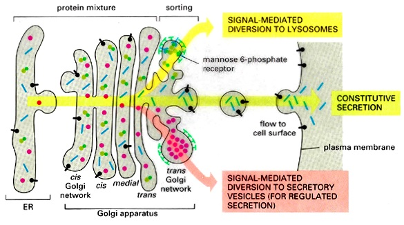 Functions of Golgi Complex